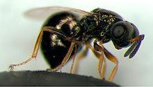 Nasonia vitripennis, host to the male-killer bacteria