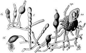 Ampelomyces hyperparasite