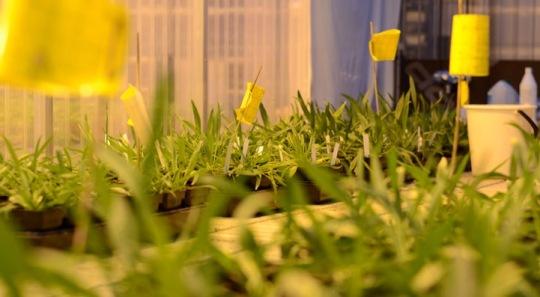 Plantago lanceolata - host to powdery mildew