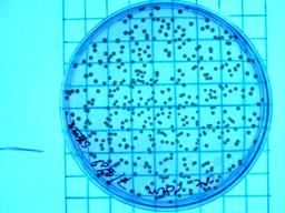 Counting Staphylococcus CFUs in beetle blood.